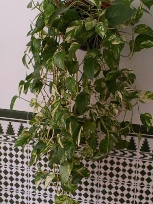 Jibóia prateada ou poto (Scindapsus)