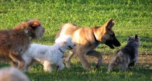 Cães adoram se socializar hotel de cachorros