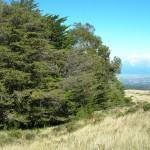 Cipreste da California (Cupressus macrocarpa)