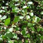 Planta Arame, Cabelo-de-Noiva  (Muehlenbeckia complexa)