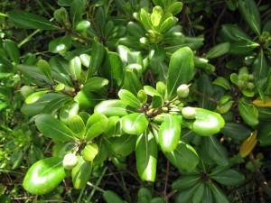 Pitosporo (Pittosporum tobira)