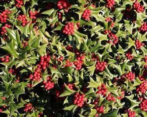 planta holly - ilex