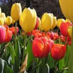 Tulipa (Tulipa hybrida L.)