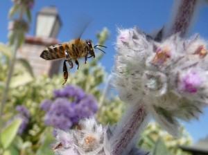 abelhas na cidade