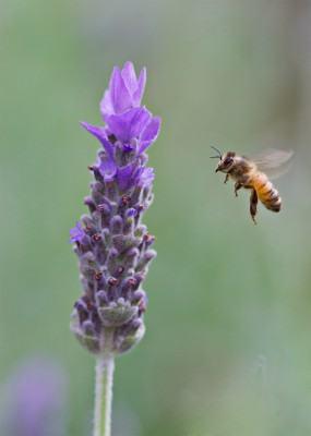 abelhas polimizando ll