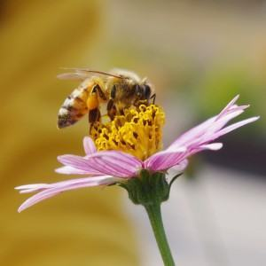 abelhas polimizando