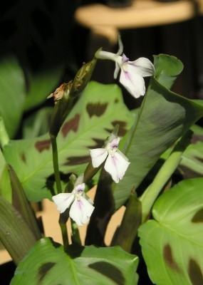 Calatéia (Calathea louisae) ou Maranta