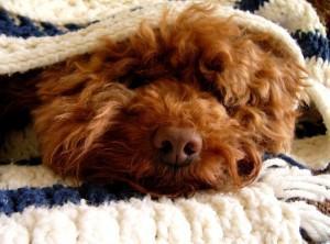 Gripe Canina: O Que É, Como Tratar e Como Prevenir