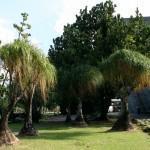 Nolina ou Pata de elefante (Beaucarnea recurvata)