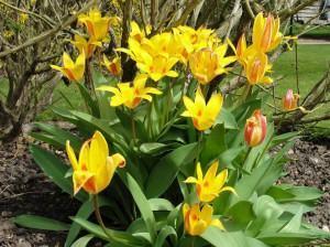 tulipas bicolor