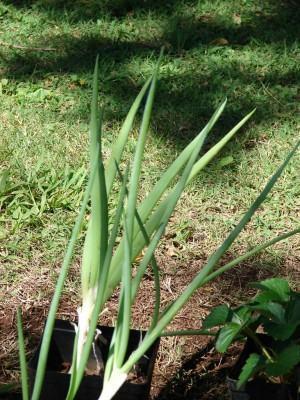 Allium_fistulosum