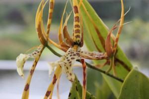 Orquídea Brassia Verrucosa (Brassia verrucosa Lindley)