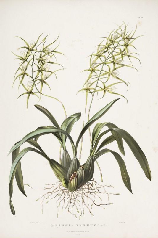 Desenho da orquídea