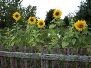 Como seu jardim pode ajudar você - girassois