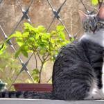 O gato Pêlo Curto Brasileiro (brazilian shorthair)