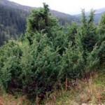 Zimbro (Juniperus communis L.)