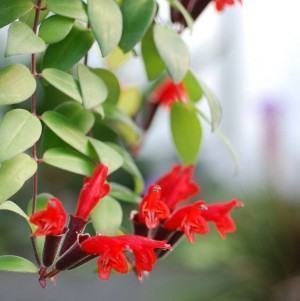 Planta-Batom (Aeschynanthus pulcher)