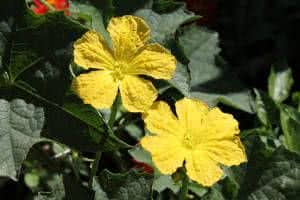flor luffa