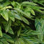 Alpínia ou Gengibre-Concha (Alpinia zerumbet)