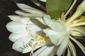 dama da noite (Epiphyllum oxypetalum)