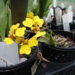 Aonde Fixar as Orquídeas?