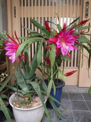 epiphyllum hibrida - dama da noite vermelha