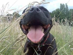 boca do cao - mau hálito nos cães