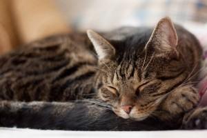 gato brasileiro