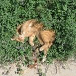 Erva de gato (Nepeta cataria)