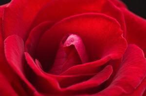 Rosas Cristalizadas Comestíveis de Presente
