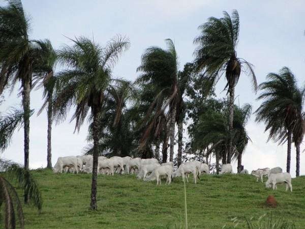 palmeiras e o gado