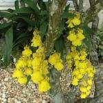 Diferentes Espécies de Orquídea Chuva de Ouro