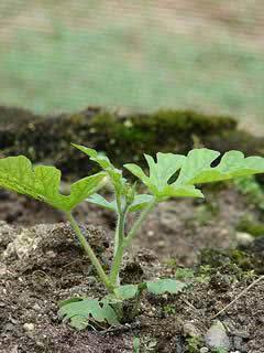 Melancia (Citrullus lanatus) semeadura