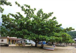 Amendoeira da Praia (Terminalia catappa)