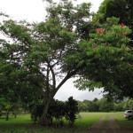 Andiroba (Carapa guianensis)