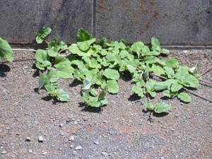 Erva-Tostão (Boerhavia diffusa)