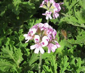 flor do geranio cheiroso