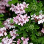 Gerânio Cheiroso (Pelargonium graveolens)