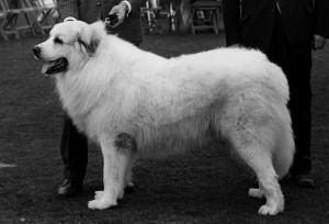Vale a pena procurar por um cachorro com pedigree?
