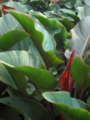 Filodendro Imperial (Philodendron speciosum)