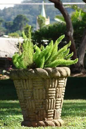 Asparagus-densiflorus