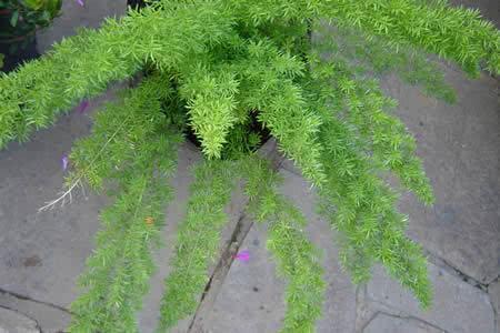 Asparagus- densiflorus