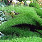 Aspargo Rabo-de-Gato (Asparagus densiflorus)