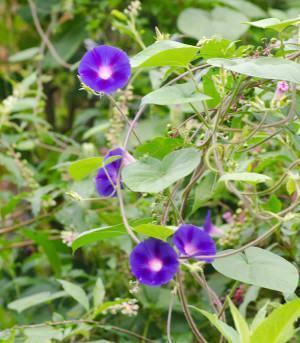 Campainha ipomoea purpurea for Ipomea purpurea