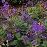 Orelha-de-Onça (Tibouchina grandifolia)
