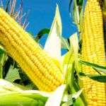 Como Plantar Milho Doce (Zea Mays L.)