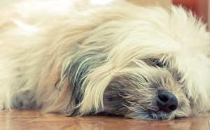 Cachorros que soltam muito pelo: porque e como evitar?