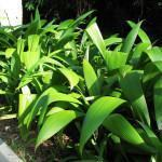 Capim Palmeira (Curculigo capitulata)