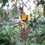 Sapatinho-de-Judia (Thunbergia mysorensis)