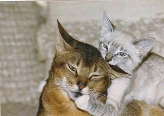 agressividade felina